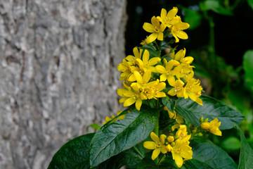 Obraz Tojeść pospolita (Lysimachia vulgaris) - żółty polny kwiat - fototapety do salonu