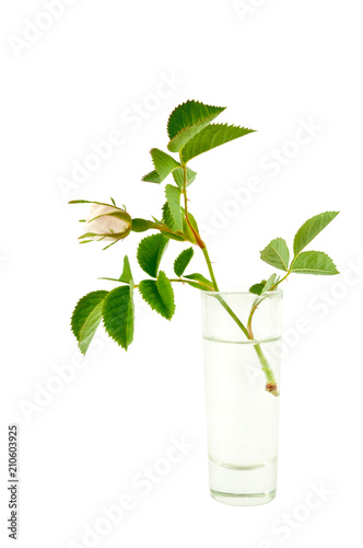 Beautiful Single White Rose Bud In A Glass Vase On A White