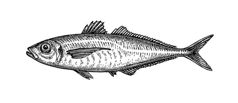 Ink sketch of horse mackerel.