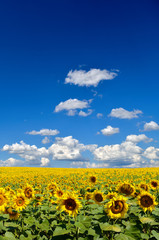 Field of yellow sunflowers against the blue sky