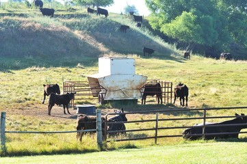 Cows at Feeder