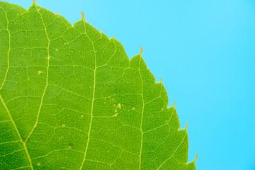 green leaf background close up horizontal tramsparent texture