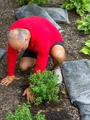 Gardener transplanting green shrub before mulching