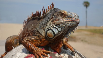 Rust colored green iguana on beach