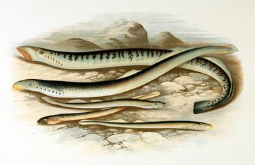 Illustration of fish. lamprey
