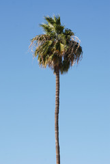 One palm tree against blue sky