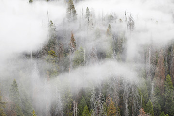 Papiers peints Forets Pine tree forest in white clouds