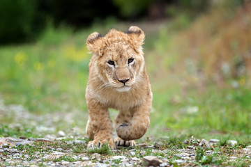 Wall Mural - Young lion cub in the wild