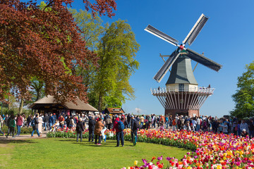 Blooming colorful tulips flowerbed in public flower garden Keukenhof with windmill. Popular tourist site. Lisse, Holland, Netherlands Wall mural