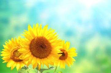 Fototapete - Three sunflowers on blurred sunny background