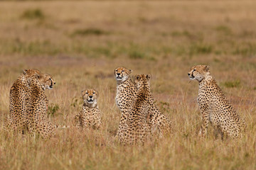 Wall Mural - Six Cheetahs in the wilderness of, Masai Mara, Keya