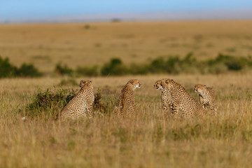 Wall Mural - Five Cheetah males in Masai Mara, Keya