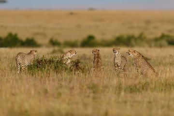 Wall Mural - Five Cheetah males and one female behind the grass, Masai Mara, Keya