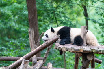 Giant pandas are protected at the national level in chengdu breeding base in sichuan province, China