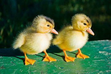 Two cute little yellow with a black spot duckling