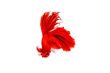 Capture the moving moment of red beautiful bite of Thai fighting fish isolated on white background. Dumbo betta fish