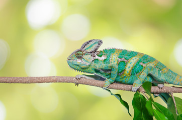 Deurstickers Kameleon Green chameleon camouflaged by taking colors of its nature background. Tropical animal on natural tree.