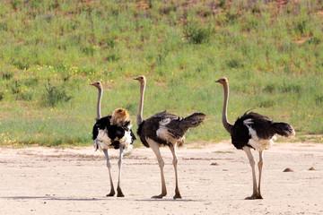Ostrich, in Kalahari,South Africa wildlife safari