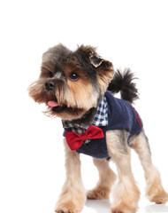 cute yorkshire terrier with costume and bowtie looks to side