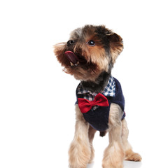 funny yorkie with costume panting while looking to side