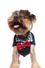 excited stylish yorkie with tongue exposed looks up to side