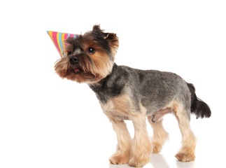 side view of cute birthday yorkshire terrier looking to side