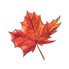 Autumn leaf - Sugar maple. Autumn maple leaf isolated on a white background. Watercolor illustration.