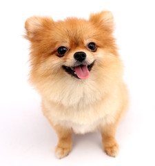 Pomeranian dog with white backdrop.