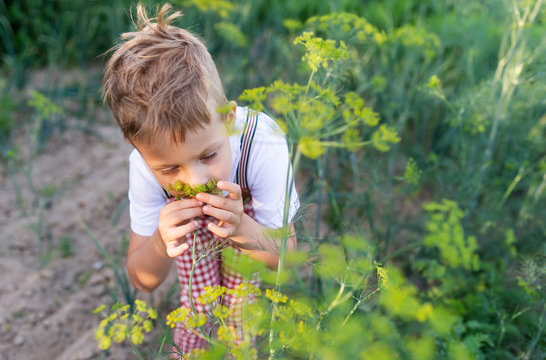 Adorable kid boy is on a summer garden and smelling yellow fennel. Walking in the farm.