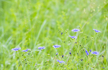 """small blue flowers """"bellflower"""" on blurred background of green grass"""