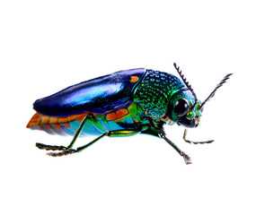 beetle with colored armor isolated on white background