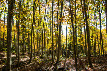 Beech forest, Niigata, Japan