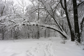 Winter landscape. Trees in the forest or in the park are under a thick layer of snow. Consequences of a great snowfall.