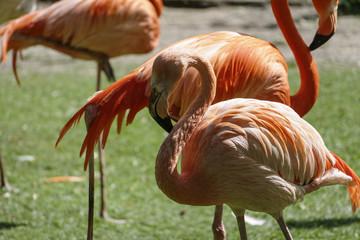 Garden Poster Flamingo Flamant roses