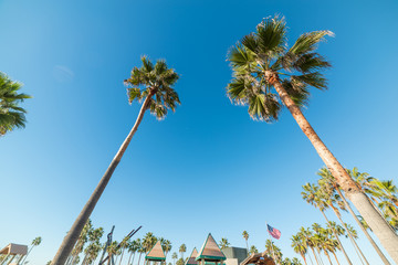 Tall palm trees in world famous Venice Beach