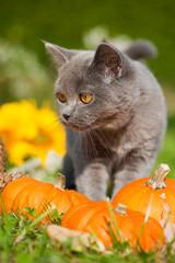 Junge Britisch Kurzhaar Katze mit Herbstdekoration im Garten