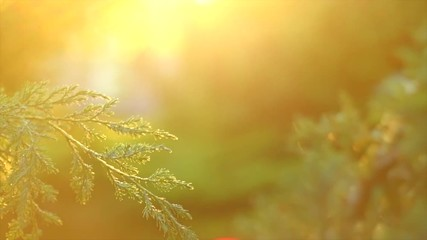 Fotoväggar - Thuja growing in summer garden. Outdoors scene in a garden, conifer needles closeup, nature. Sun flares. Slow motion 4K UHD video 3840x2160