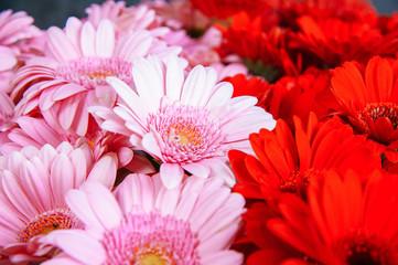 Half pink half red gerbera flowers. Background.