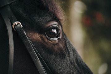 The portrait of a beautiful black horse