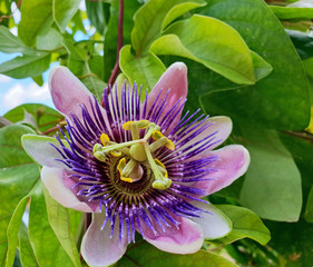 Wall Mural - Summer beauty on the balcony: Violett and white Passiflora Kaiserin Eugenie, x belotii :)