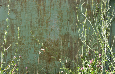 abstract texture, vintage rusty metal sheets, green khaki colors with grass close-up, wall, background for text