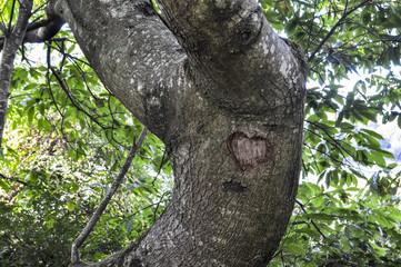 Coeur gravé dans l'écorce d'un gros tronc d'arbre en Bretagne