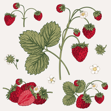 Forest strawberry. Vector illustration.
