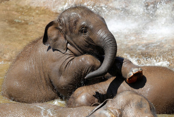A baby asian elephant cools down at Chester Zoo