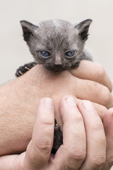 Small gray black kitten in human hand.
