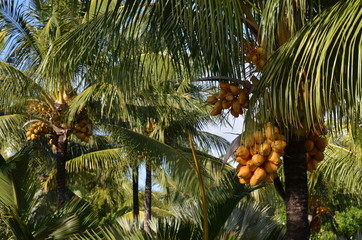 Cocotiers avec noix de coco