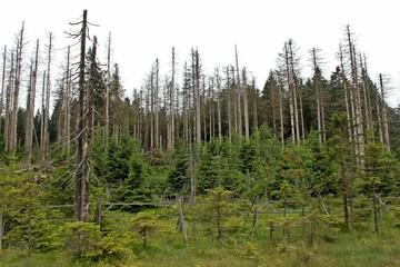 Durch Borkenkäfer und Dürre abgestorbene Fichten im Harz