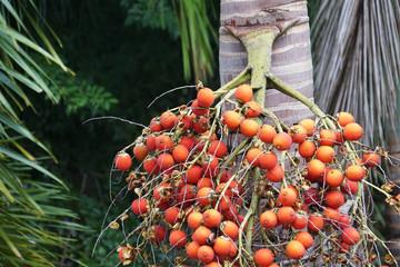 palm tree red orange seed berries