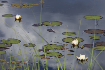 White water lily in the pond.