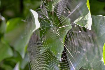 Toile d'araignée dans le jardin